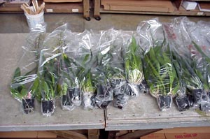 Plants groomed and individually wrapped